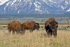 Bison in the Valley (bhophotos) Tags: travel usa mountains nature landscape geotagged spring buffalo nikon wildlife valley wyoming tetons bison jacksonhole grandtetonnationalpark gtnp 80200mmf28dnew d700