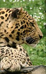 Contemplazione (Lookaloopy) Tags: nature leopardo sony felino animali dsc h5 naturalmente contemplazione