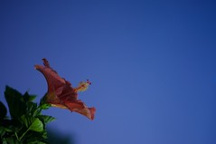 153/365 - satellite (djdphotos) Tags: longexposure sky flower leaves night 50mm evening nikon unitedstates hibiscus single midnight 18 solitary offcenter d90 project365