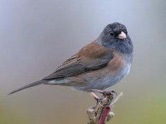 Dark-eyed Junco (janruss) Tags: bird junco npc avian darkeyedjunco naturesfinest mywinners avianexcellence natureoutpost natureselegantshots 100commentgroup thebestofmimamorsgroups janruss janinerussell
