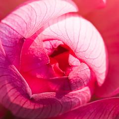 Lotus Petals 蓮瓣 (olvwu | 莫方) Tags: plant flower macro 50mm lotus bokeh farm taiwan ntu taipei bud 荷花 laef 蓮花 lotusflower nelumbonaceae taipeicounty nelumbo sindian jungpangwu oliverwu oliverjpwu nelumbonucifera 50mmmacro 台大農場 ntufarm proteales nelumbonuciferagaertn olvwu eastindianlotus 台大安康農場 sindiancity jungpang 台大農改場 ntuangkangfarm ntuankangfarm