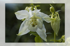 White Columbine (Thomaniac) Tags: white plant flower macro green closeup canon eos flora bokeh natur pflanze columbine grn blume weiss nahaufnahme akelei efs60mmmacro lens00025 450d thomaniac