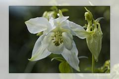 White Columbine (Thomaniac) Tags: white plant flower macro green closeup canon eos flora bokeh natur pflanze columbine grün blume weiss nahaufnahme akelei efs60mmmacro lens00025 450d thomaniac