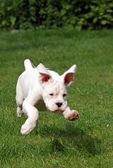 Vito, the flying puppy (Grymfoting) Tags: plants dog pet white flower animal fauna puppy sweden canine hund boxer blomma sverige blommor husdjur vito hsselby vxter djur valp boxeador whiteboxer pugile boxejador  snowyboxer vitboxer snowboxer vithund shoestringsbezzerweiss shoestringskennel