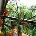 Scarlet Macaw, Tiki Room, Lookout Inn, Carate MM - 01