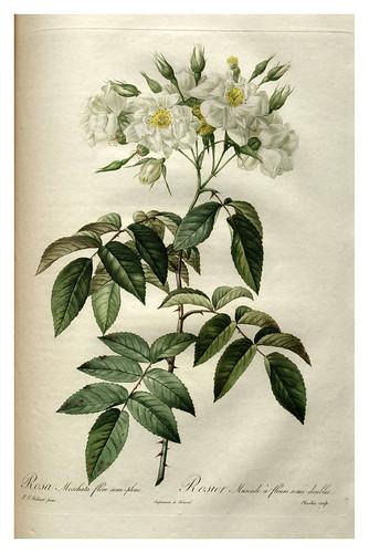 016-Les roses 1817-1824- Pierre-Joseph Redouté
