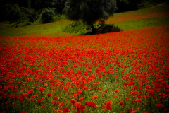 Campo de amapolas con ligero vieteado (Zalito) Tags: mohnfeld campodipapaveri fieldofpoppies campodeamapolas champodecoquelicots