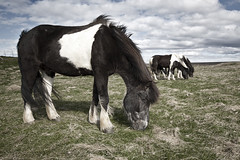 The Icelandic Horse (Vignir Mr) Tags: summer sky horses horse cloud grass clouds iceland icelandic