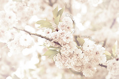 cherry blossoms (scifitographer) Tags: flower tree cherry blossom bethanthony retroreflectography