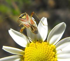 Calocoris roseomaculatus (vega**) Tags: madrid wild plant flores flower macro planta animal bug insect vega silvestre insecto chinche salvaje calocorisroseomaculatus