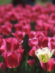 L'intruso (Sillar) Tags: pink primavera tulips rosa springtime velvia50 nikonf4 tulipani sigurtà nikon50mmf14