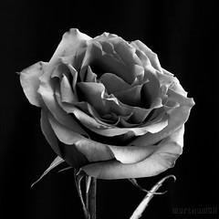 O nome de uma Rosa !! (Martha MGR) Tags: bw flower rose blackwhite rosa vernissage monocrome mmgr marthamgr marthamariagrabnerraymundo marthamgraymundo nomedeumarosa