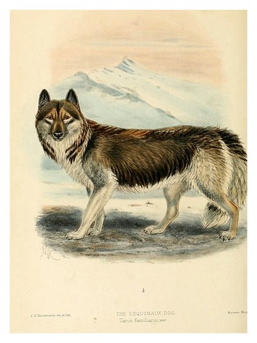 005-el perro esquimal-Dogs jackals wolves and foxes…1890- J.G. Kulemans