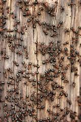 Wood Ants! (RiverCrouchWalker) Tags: ants essex colony formicarufa hanningfieldreservoir woodants essexwildlifetrust hanningfieldreservoirnaturereserve