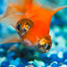 goldfish image, photo or clip art