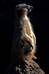 Meerkat (hbp_pix) Tags: gardens canon tampa chimp florida giraffe chimpanzee monkee busch hbppix lx3
