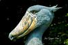Picozapato (Balaeniceps rex) (Jesus Guzman-Moya) Tags: portrait naturaleza bird nature animal japan tokyo ueno retrato ave 日本 東京 pajaro 自然 上野 japon shoebill tokio 鳥 uenozoo naturesfinest balaenicepsrex chuchogm specanimal avianexcellence platinumheartaward picozapato jesusguzmanmoya cigüeñacabezadeballena zoologicodeueno ピーク靴