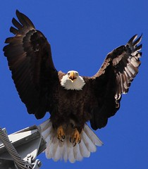 Male Eagle Launching (girdleyd) Tags: bird searchthebest eagle bald raptor birdofprey talons naturesfinest blueribbonwinner otw platinumphoto malebaldeagle theperfectphotographer goldstaraward goldenheartaward thewonderfulworldofbirds dragondaggerphoto juliesgalleryofnature