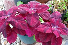 Coleus 'Autumn'