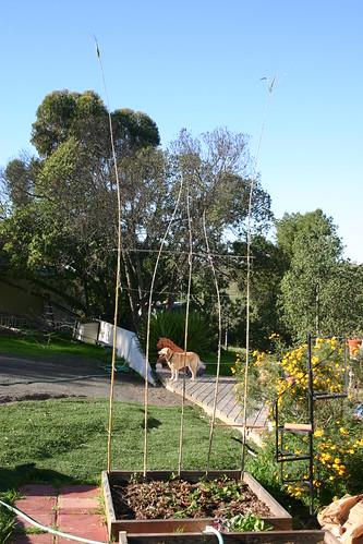 Bamboo pea poles*