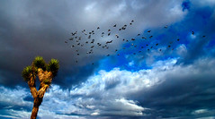 Joshua Tree and Pigeon Flock (Bill Wight CA) Tags: california park travel usa tree tourism monument birds rock america landscape nationalpark flora scenery rocks unitedstates desert outdoor pigeon unitedstatesofamerica scenic joshuatree rocky reserve conservation dry boulder erosion formation american granite vegetation northamerica destination environment weathered geology wilderness habitat desolate barren protection preserve arid deserts yucca rugged nationalmonument americanwest joshuatrees vastness mojavedesert ecosystem yuccabrevifolia eroded rockformation joshuatreenationalpark farwest destinations granitic dryness traveldestinations beautyinnature aridity westernunitedstates barerock woodyplant billwight pigeonflock sensitivenaturalareas