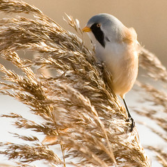 A perilous lunch (Ian-S) Tags: uk bird reeds lunch feeding wildlife norfolk nwt holme beardedtit panurusbiarmicus mywinners abigfave onlyyourbestshots norfolkwildlifetrust naturewatcher slbfeeding holmedunes