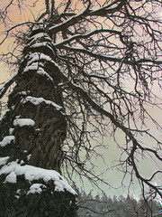 tree scape (chanzezare) Tags: white snow tree photoshop photo oak naturesfinest naturethroughthelens