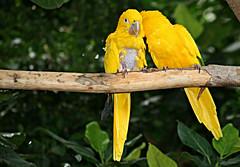telling secrets (oldmischief) Tags: green bird birds yellow three branch aviation secret aviary hairless secrets featherless