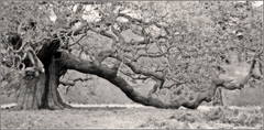 Very Old Oak Tree (benwmbc) Tags: tree sepia derbyshire oldtree oaktree orton longbranch 50mmf18 500years ticknall calkeabbey howold december2008 canon40d