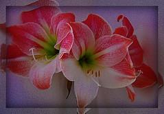 (473) Amaryllis (Franz St.) Tags: flowers nikon blossom blumen amaryllis blte pictureperfect sigma18200 d80 masterphotos mywinners goldstaraward multimegashot franzst anuniverseofflowers naturescreations