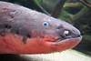 Electric Eel (Doug Letterman) Tags: california ca eel electriceel californiaacademyofscience electrophoruselectricus