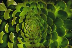 Savage Succulent