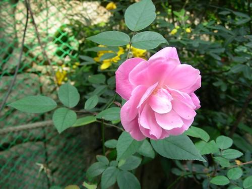 路邊玫瑰花