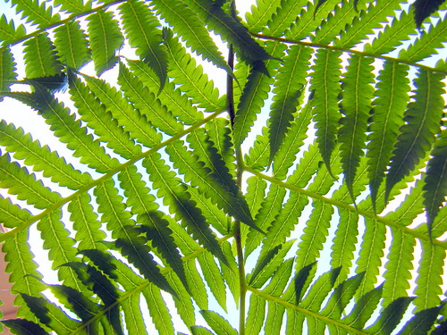 Overlapping Fern
