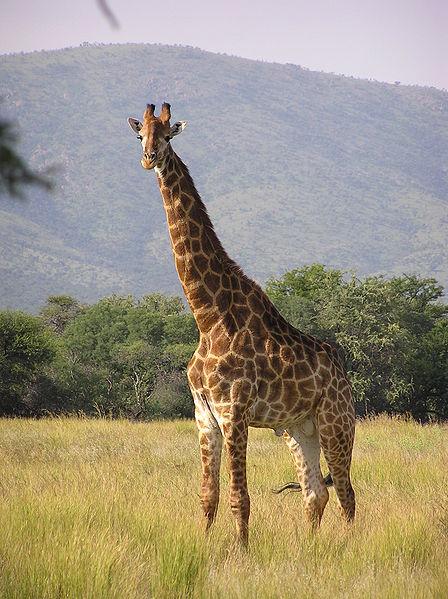 448px-Giraffe_standing