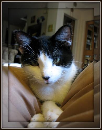 Belle - black & white kitten