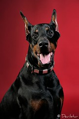 Banderos (Devilstar) Tags: red portrait dog black studio head land backdrop doberman pinscher dobermann koer banderos  legrant
