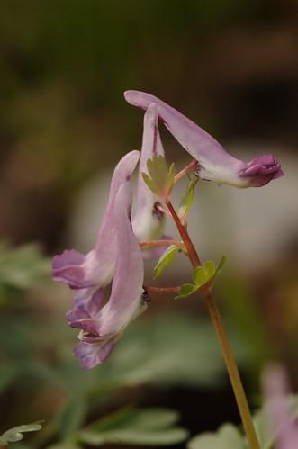 Corydalis solida | Vingerhelmbloem, Bulbous corydalis