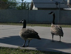 4.7.09 - Geese Invasion! (Carrie Garrison Photography) Tags: school random potd teaching 365 outoftheordinary project366 teachercarrie