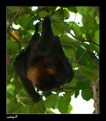 Bat (‏Abdullah Alashiri) Tags: germany hamburg bat fledertiere خفاش