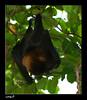 Bat (Abdullah Alashiri) Tags: germany hamburg bat fledertiere خفاش
