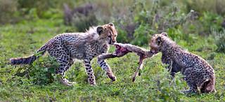 Cheetah Tug of War