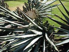 agaves - déchets