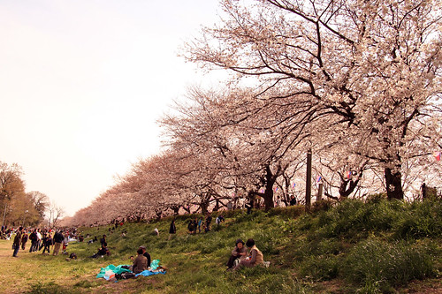 Cherry blossom -Satte no sakura 07-