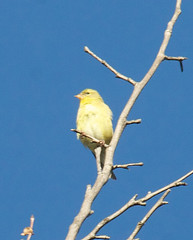 Canary (Pomar (historical), California, United States) Photo