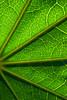 Leaf abstract (bkiwik) Tags: christchurch newzealand nz newbrighton canterbury aotearoa green canon eos400d digital vein veins stem stems nature natural leaf plant tree light segments segmented lines shadows shadow abstract macro closeup close inspiredbylove artlegacy colourartaward