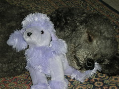 Charley and Mauve #1 (MzDIS) Tags: california friends dog pet pets poodles dogs loving fur friend marin dream handsome canine attitude soul mansbestfriend dear awe sausalito playful waldo charley womansbestfriend fourlegged canines zib zibs sausalitocalifornia zibble waldopoint zibber ziber zibbled zibbles zibbed zibed zibbing zibing zibest zibbest zibbier zibier zibler zibbler zibbiest