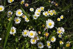 Margaritas (Pilar Azaa Taln ) Tags: flowers espaa flores color colour spain daisy margarita marguerite cantabria pilarazaa
