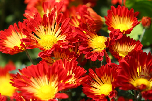 Red yellowish Chrysanthemum