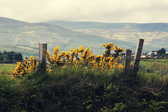 Some Sight (Michelle in Ireland) Tags: flowers sky mountains floral grass yellow clouds rural fence landscape growth posts gorse dublinmountains mywinners theunforgettablepictures